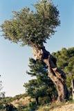 2 drzewo oliwne Obrazy Royalty Free