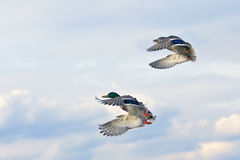 2 Ducks. A pear of ducks in the sky Stock Photo