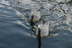 2 ducks. Swimming toward camera Stock Photo