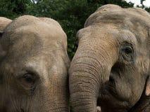 2 elefanti Fotografie Stock