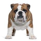 2 engelska gammala plattform år för bulldogg Arkivbild