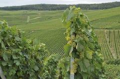 2 epernay druvor för champagne Arkivbild