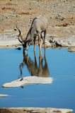 2 etosha kudu 免版税库存照片