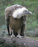 2 eurasian griffon στοκ φωτογραφία