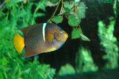 2 färger fiskar många arkivbilder