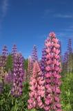 2 färgglada lupins Royaltyfri Foto