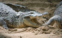 2 falska gavial Arkivfoton