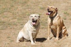 2 femmine del labrador Fotografia Stock
