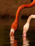 2 flaminga Fotografia Stock