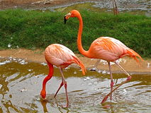 2 Flamingos. Two flamingos at the local zoo in hawaii Stock Photography
