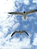 2 flygseagulls arkivfoton