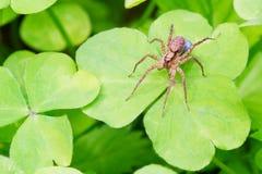 2 fortplantar spindeln Arkivfoton