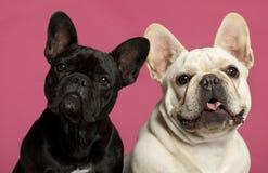 2 franska gammala år för bulldoggar Arkivbild