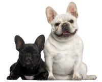 2 franska gammala år för bulldoggar Royaltyfria Bilder