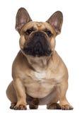 2 franska gammala sittande år för bulldogg Arkivbilder