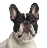 2 franska gammala ståendeår för bulldogg Arkivfoto