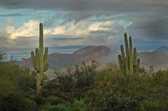 2 gór kaktus saguaro przesądy Zdjęcie Royalty Free