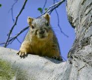 2 gałęziastej szarości squirrel drzewa Fotografia Stock
