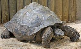2 Galapagos tortoise Fotografia Stock