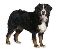 2 gammala år för bernese berg för hund half Arkivbilder