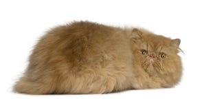 2 gammala persiska år för katt Royaltyfri Foto