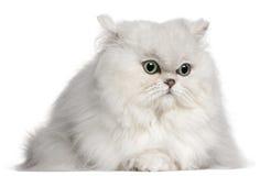 2 gammala persiska år för katt Arkivfoto