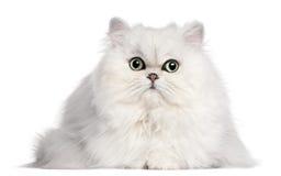 2 gammala persiska år för katt Arkivbilder