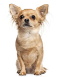 2 gammala sittande år för chihuahua Royaltyfria Bilder