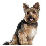 2 gammala sittande terrierår yorkshire Fotografering för Bildbyråer