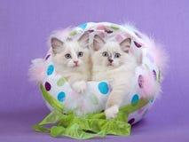 2 gatinhos bonitos de Ragdoll no ovo de Easter Fotos de Stock Royalty Free
