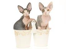 2 gatinhos bonitos de Sphynx em umas cubetas dobro Foto de Stock Royalty Free