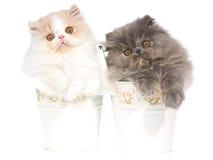 2 gatinhos consideravelmente persas nas cubetas brancas Fotografia de Stock Royalty Free