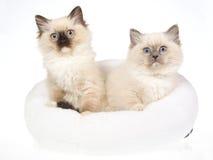 2 gatinhos de Ragdoll na cama branca da pele Foto de Stock