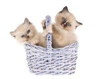 2 gatinhos de Ragdoll na cesta do presente do lilac Fotografia de Stock Royalty Free