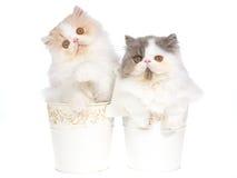 2 gatinhos persas bonitos nas cubetas brancas Foto de Stock Royalty Free