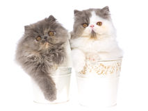 2 gatinhos persas nas cubetas brancas Foto de Stock Royalty Free