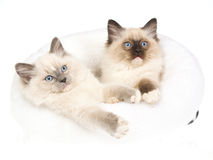 2 gatitos bonitos de Ragdoll en la cama blanca de la piel Fotografía de archivo