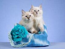 2 gatitos de Ragdoll que se sientan en bolso azul Imagen de archivo libre de regalías