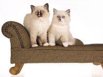 2 gatitos de Ragdoll que se sientan en la calesa marrón Imágenes de archivo libres de regalías