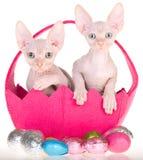 2 gatitos de Sphynx en la cesta de Pascua Foto de archivo libre de regalías