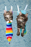 2 gatitos del Coon de Maine en calcetines en línea Imagenes de archivo