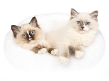 2 gatitos mitted de Ragdoll en la cama blanca de la piel Imagen de archivo