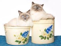2 gatos de Ragdoll dentro de compartimientos Fotografía de archivo