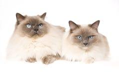 2 gatti di Ragdoll su priorità bassa bianca Fotografia Stock