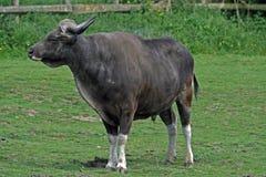 2 gaur Obrazy Stock