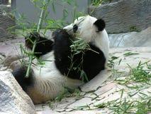 2 gigantyczna panda Fotografia Royalty Free