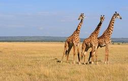 2 giraffes стоковое изображение