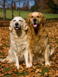 2 Golden Retrievers in field of Fall leaves Royalty Free Stock Image