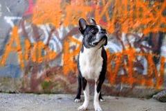 2 graffiti bostonów pomarańczę terier obrazy royalty free