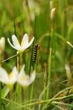 2 grandiflora zephyranthes carpenterworm Στοκ εικόνα με δικαίωμα ελεύθερης χρήσης